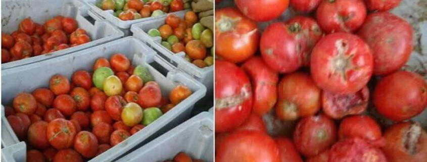 400 quintales de tomate a punto de pudrirse porque Acopio no los quiere