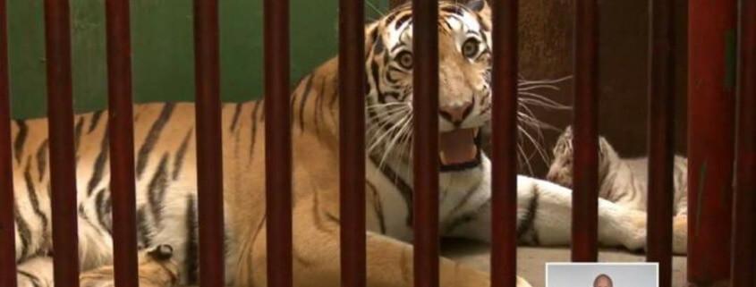 Nacen cuatro tigres de Bengala en el Zoológico Nacional de Cuba