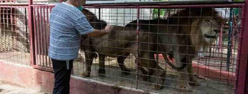 Tres leones fugados de su jaula en zoo cubano