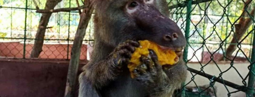 Cuban woman played key role in early primate research