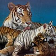 A rare first white tiger born in Havana Zoo