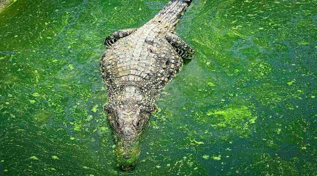 El cocodrilo americano amenaza el pedigrí de su par cubano
