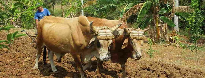 Cuba allocates 1.8 billion pesos to agricultural and livestock development fund